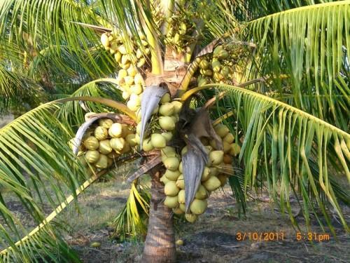dwarfcoconut
